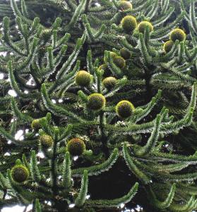 araucaria cones