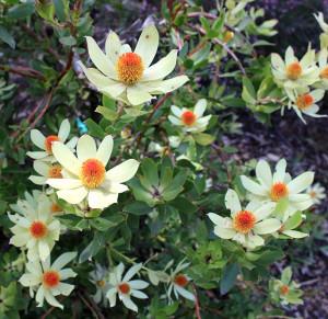 Graines Leucadendron discolor