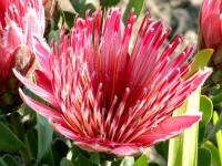 Graines Protea repens
