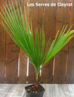 Washingtonia filifera : Palmier jupon, Palmier de Californie
