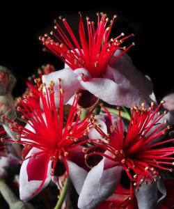 Goyavier du Brésil : Feijoa sellowiana