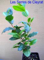 Théier . Camellia sinensis.