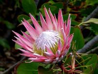 Graines Protea cynaroides